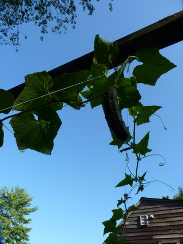 Giant cucumber plants
